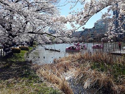 Cerisiers en fleurs à Ueno
