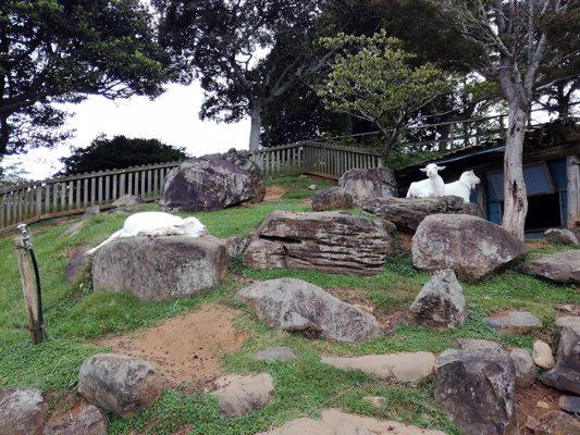 Chèvres du parc